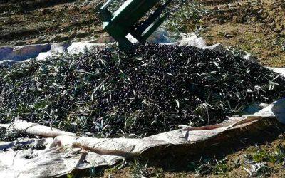 COAG Jaén pide al Gobierno una rebaja de los módulos del olivar como prometió