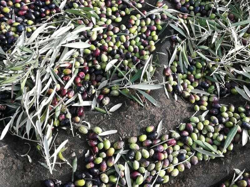 COAG ve muy difícil que se cumpla el aforo de aceite por la sequía