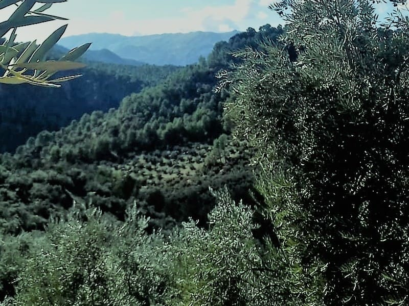 Agricultores de la Sierra de Segura se movilizarán en defensa del  olivar en pendiente