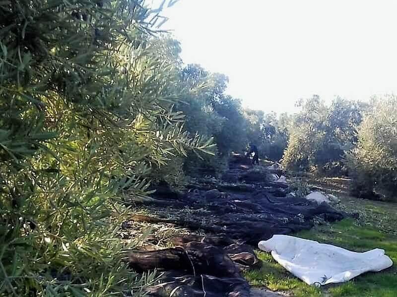 AEMO alerta del riesgo de pérdida de rentabilidad del olivar