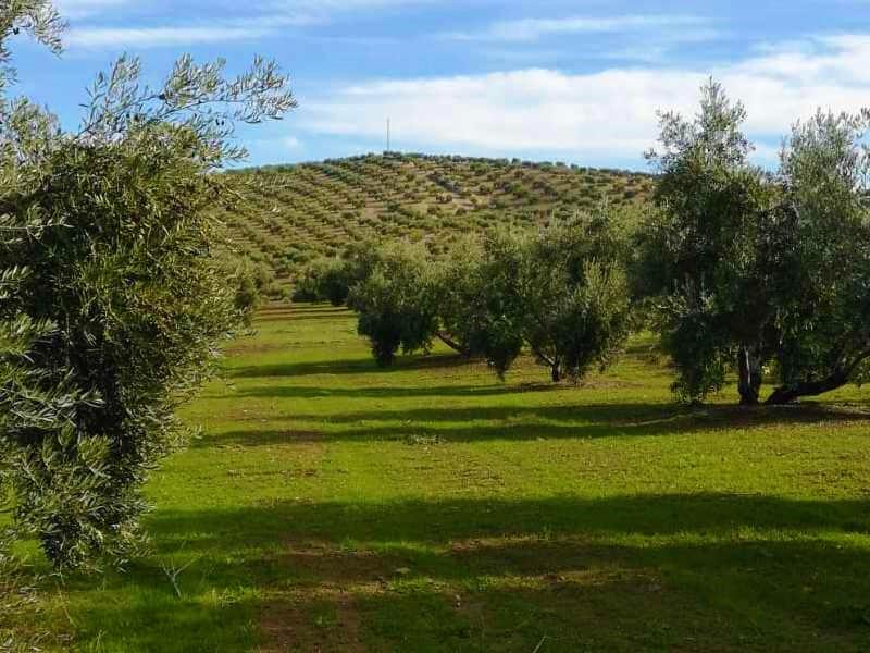 Gobierno rebaja los módulos del olivar al 0,13 %