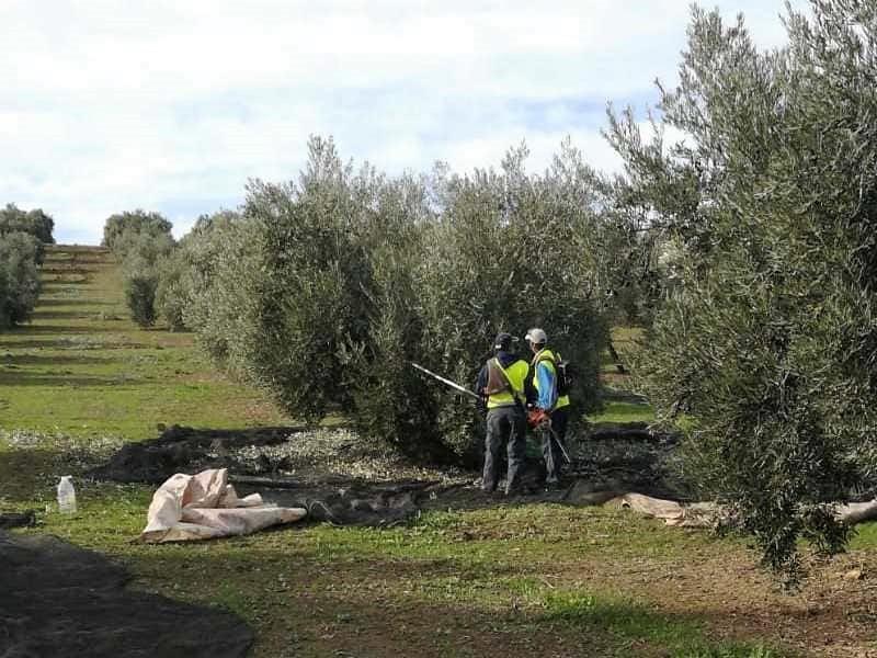 Coag Jaén pide al nuevo Gobierno un plan urgente para el sector del olivar