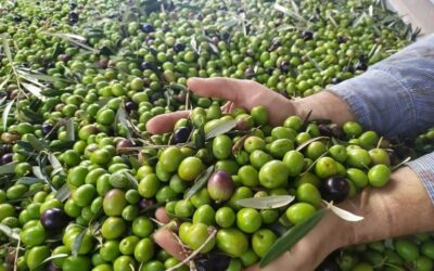 Agricultura ajusta a la baja el aforo inicial de aceite de oliva