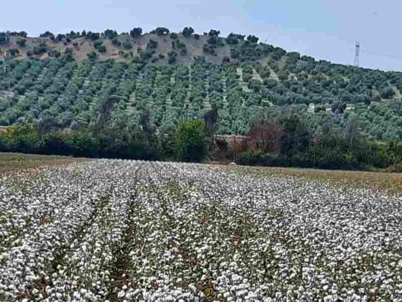 COAG Jaén denuncia la incertidumbre del sector del algodón por las paupérrimas dotaciones de agua asignadas por la CHG