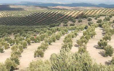 Rebajan los módulos del olivar al 0,18%, el algodón se queda fuera