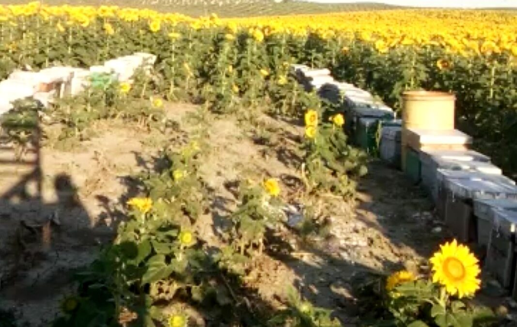 Mala cosecha de miel de primavera en la provincia de Jaén que no llega a una cuarta parte