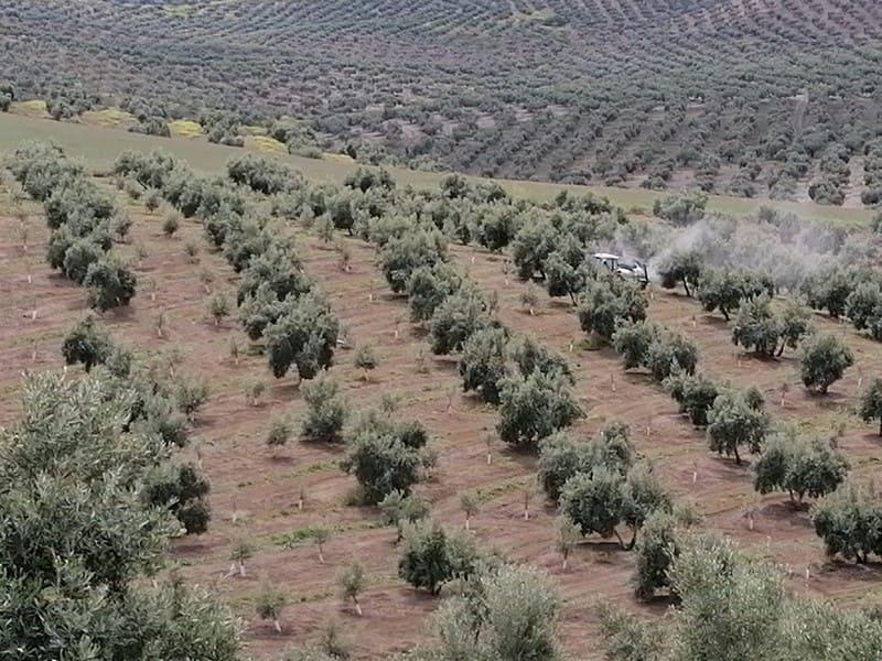 La renta agraria del  olivar se reduce un 4,4 % en 2020