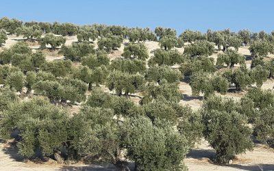 Solo está asegurada la producción del 7,8 % del olivar jiennense
