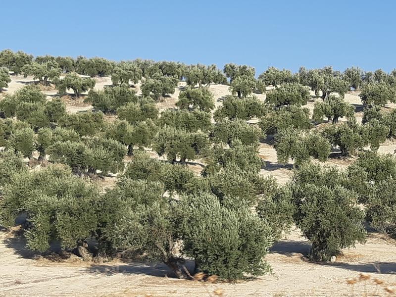 Pérdidas de cosecha de hasta el 80% en el olivar de secano