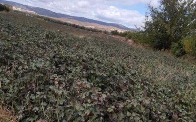 Dos plagas ocasionan una fuerte bajada de los rendimientos del algodón